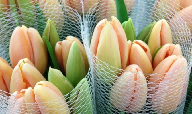 French Tulip Menton