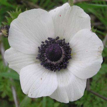 Anemone Giant White