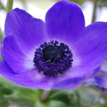 Anemone Jumbo Blue