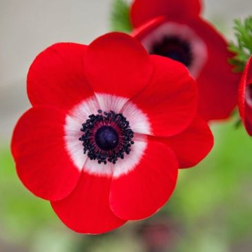 Anemone Giant Red