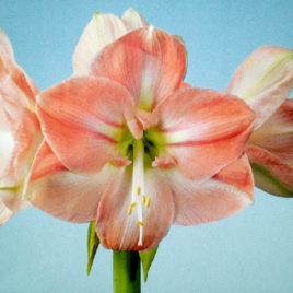 Amaryllis Darling 4 Heads