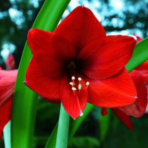 AMARYLLIS RED LION 4 HEADS
