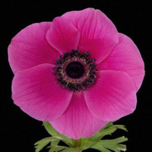 ANEMONE ORCHID HOT PINK 50CM