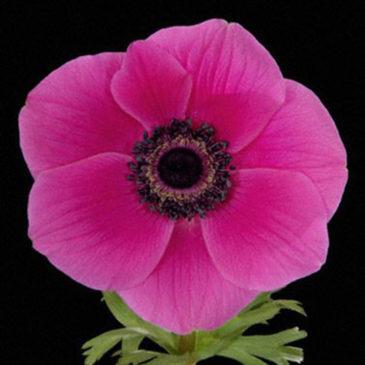Anemone Jumbo Hot Pink