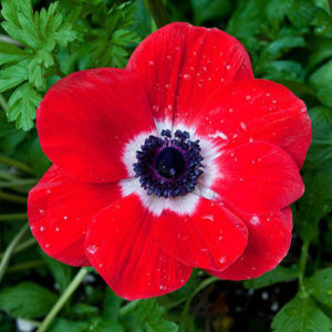 ANEMONE RED 50CM
