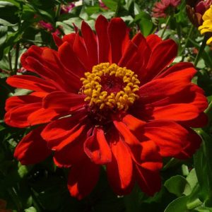 ASTER RED