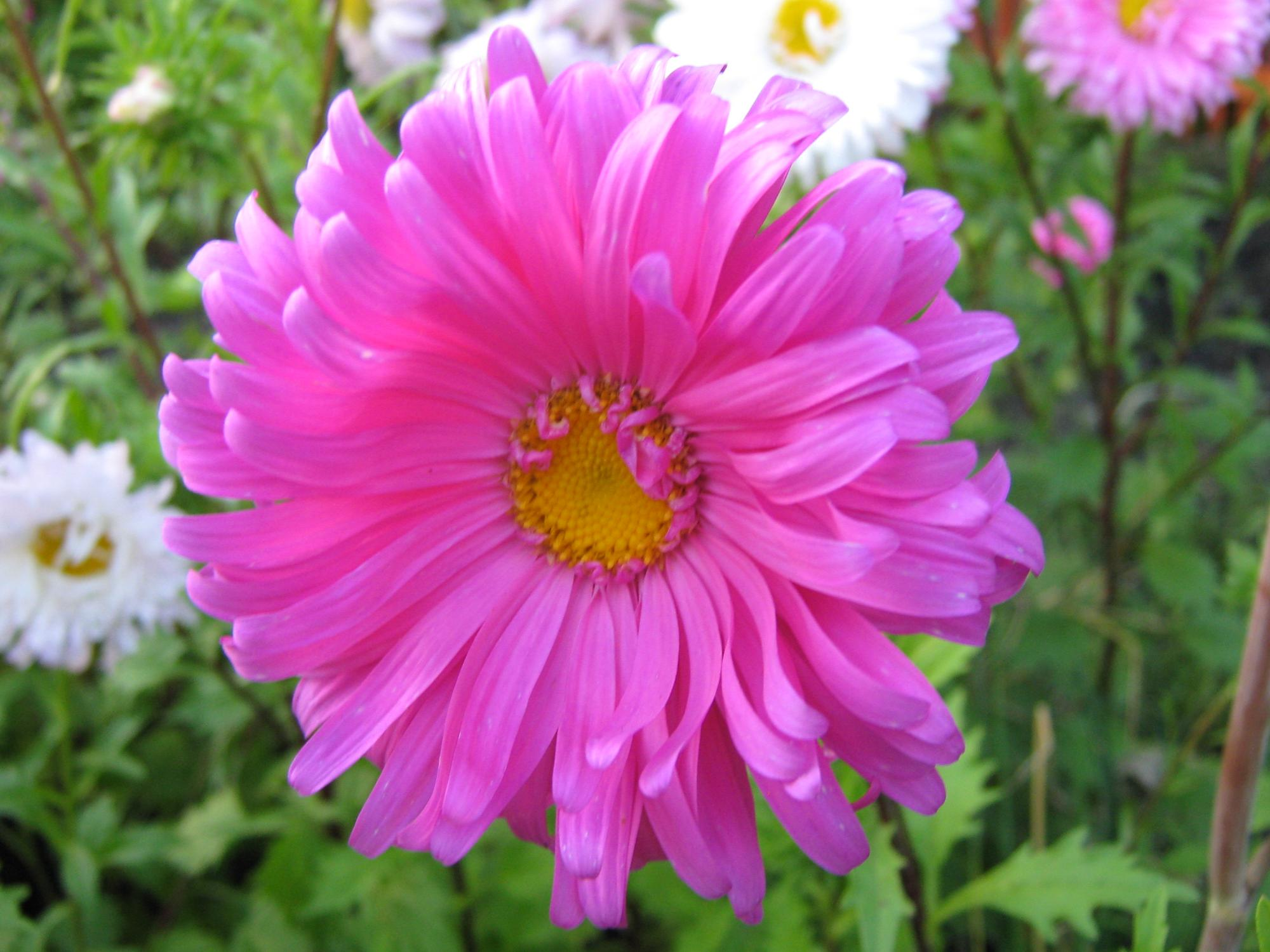Pink full pot of flowers aster pink mightylinksfo