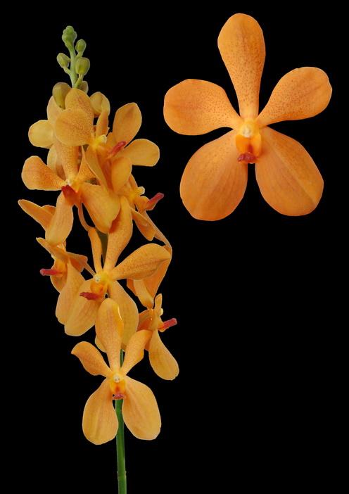 Aomyai Orange