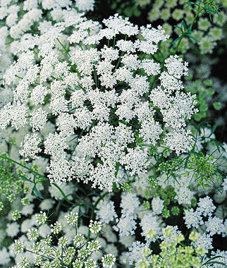 Ammi Majus Chocolate Lace