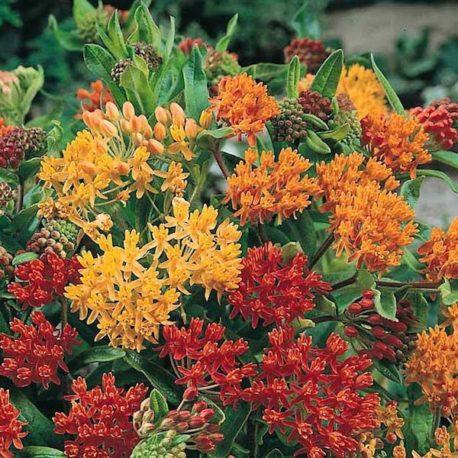 asclepias-orange-red-yellow