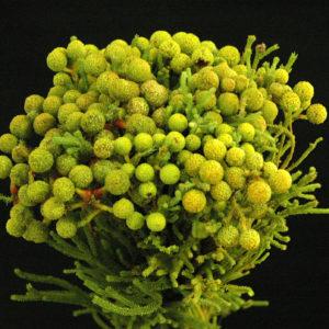 B. Abratonoides 1