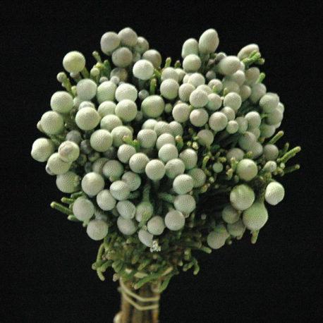 Brunia Silver