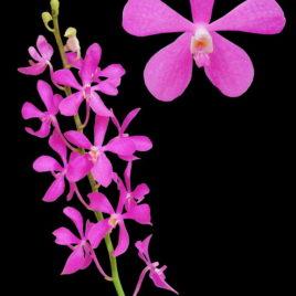 Noorah Pink