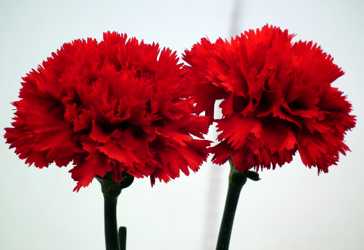 carnations-red