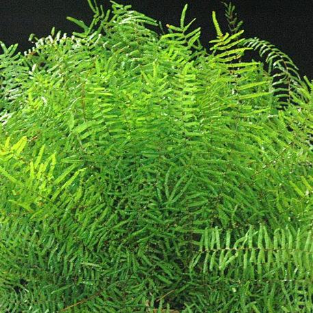 Coral Fern 1