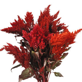 Feather Celosia Red