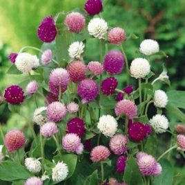 Gomphrena Assorted