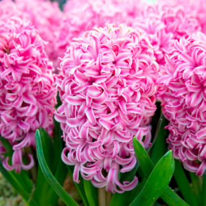 HYACINTHUS ASSORTED PINK
