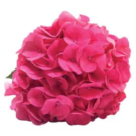 Fresh Hot Pink Alpen Masja