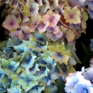 Hydrangeas Antique Assorted Colors