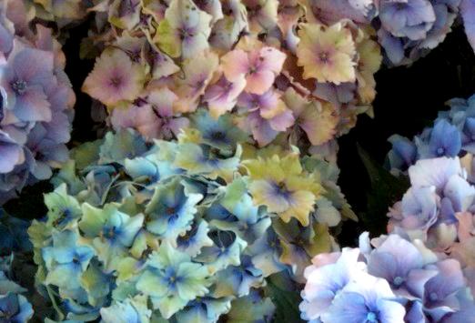 Hydrangeas Antique Assorted Colors