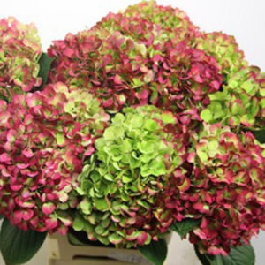 Hydrangeas Antique Coral Green