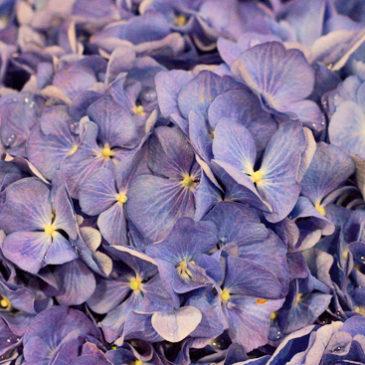 Growing Alps Purple Shades