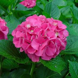 Masja Hot Pink