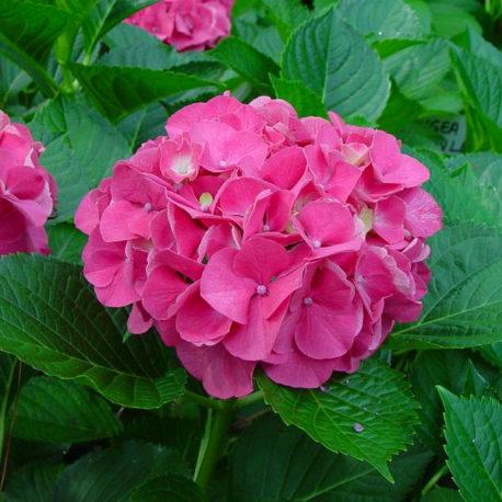 Hydrangeas Masja Hot Pink