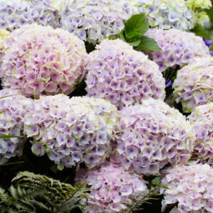 Hydrangeas Ocean Light Pink