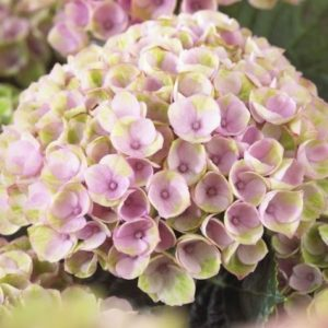 Hydrangeas Revolution Blush Pink Green