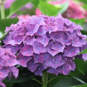 Hydrangeas Rodeo Purple Shades