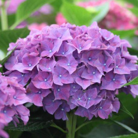 Hydrangeas Rodeo Purple Shades