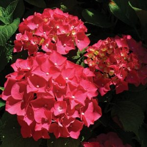 Hydrangeas Ruby Red