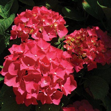 Hydrangeas Ruby Red