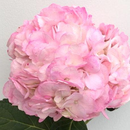 Hydrangeas Verenas Light Pink