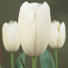 French Tulip Maureen