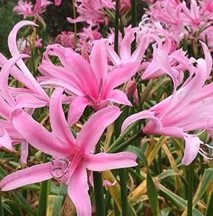 Balladiva Pink