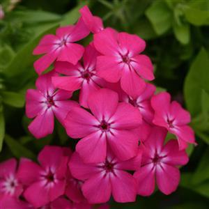 phlox-hot-pink
