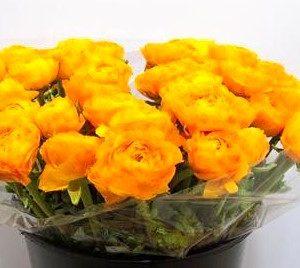 ranunculus-cloony-omega-yellow-40cm