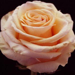 rose-ghobi-peach-1