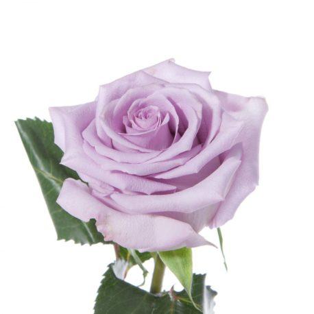 rose-ocean-song-lavender