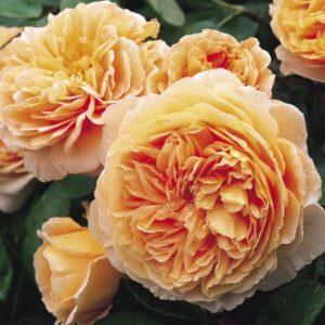 rose_crownprincess