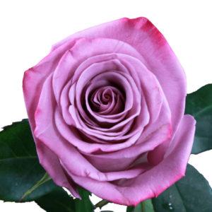 rose_lavender_-_moody_blues_-_rpra_3__wb