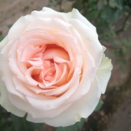 Sweet Perfumella