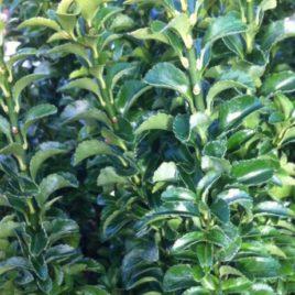 Euonymus Rocket Green