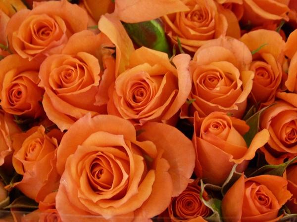 spray-rose-babe-orange
