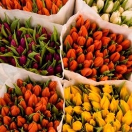 Tulip 7 Colors Assorted