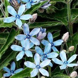 Tweedia blue