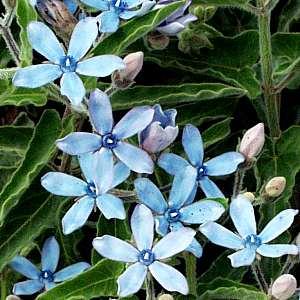 tweedia-blue